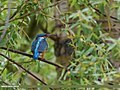 Common Kingfisher (Alcedo atthis) (26608252043).jpg
