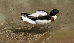 Common Shelduck.jpg