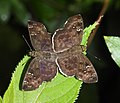 Common Small Flat Sarangesa dasahara mating by Dr. Raju Kasambe DSCN8689 (25).jpg