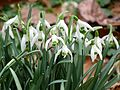 Common Snowdrop - Flickr - treegrow (3).jpg