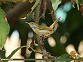 Common Tailorbird (Orthotomus sutorius) (15707967670).jpg