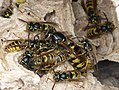Common Wasp. Queen with workers. Vespula vulgaris - Flickr - gailhampshire.jpg