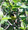Common Yellowthroat (5888114227).jpg