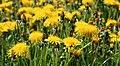 Common dandelion 2021 G2.jpg