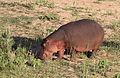 Common hippopotamus, Hippopotamus amphibius, at Letaba, Kruger National Park, South Africa (20032050798).jpg