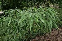 Comptonia-peregrina-habitus.jpg