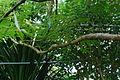 Conservatoire botanique national de Brest-Poupartia castanea-15 08-Philweb3 (20050192450) (2).jpg