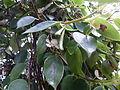 Conservatoire du bégonia 2015. Begonia molleri - 06.JPG
