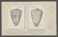 Conus leoninus - - Print - Iconographia Zoologica - Special Collections University of Amsterdam - UBAINV0274 086 02 0029.tif