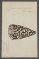 Conus marmoreus - - Print - Iconographia Zoologica - Special Collections University of Amsterdam - UBAINV0274 086 01 0002.tif