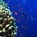 Coral, goldies and and two divers (36149004940).jpg