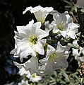 Cordia decandra - Flickr - Dick Culbert.jpg