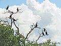 Cormorants - Flickr - treegrow (1).jpg