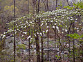Cornus florida - Flowering Dogwood.jpg