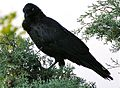 Corvus Coronoides facing direct.jpg