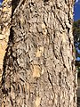 Corymbia bark.jpg