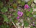 Corynabutilon ceratocarpum, the Malva de Cordillera (9104532468).jpg