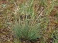 Corynephorus canescens 80318704.jpg