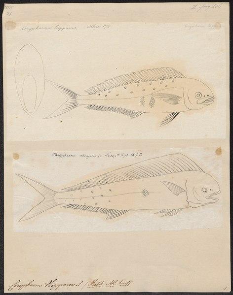 File:Coryphaena hippurus - 1700-1880 - Print - Iconographia Zoologica - Special Collections University of Amsterdam - UBA01 IZ13500310.tif