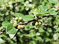 Cotoneaster dielsianus Kiev1.JPG