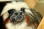 Cotton Top Tamarin - Linton Zoo (16687036007).jpg