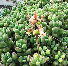 Cotyledon tomentosa in cultivation - Cape Town 9.jpg