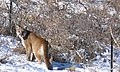 Cougar snow.jpg