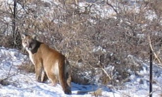 North American cougar - A cougar in the snow at North Cedar Brook in Boulder, Colorado