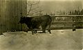 Cow in the Snow, Sherwood, Ore (8113561782).jpg