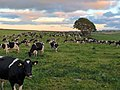 Cows in a Yorkshire field IMG 0349.jpg