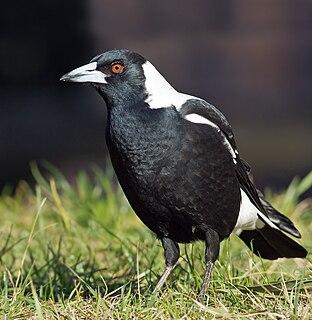 Australian magpie A medium-sized black and white passerine bird native to Australia and southern New Guinea.