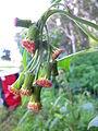 Crassocephalum crepidioides flowerhead1 (13347519924).jpg