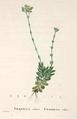Crassula ciliata.png