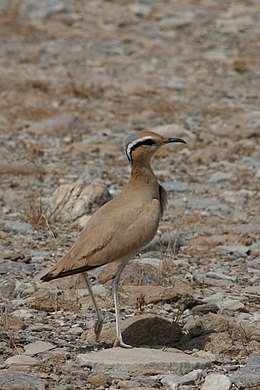 Cream-coloured Courser.jpg