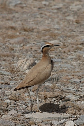 The cream-colored courser, Cursorius cursor, is a well-camouflaged desert resident with its dusty coloration, countershading, and disruptive head markings. Cream-coloured Courser.jpg