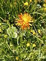 Crepis aurea003.jpg