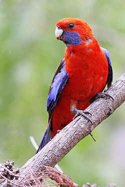 Crimson Rosella dec07.jpg
