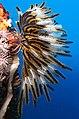 Crinoid on the reef of Batu Moncho Island (cropped).JPG