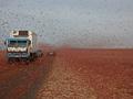Criquet migrateur Schistocerca gregaria Juncus maritimus at Imililik, Western Sahara (April, 1944).png
