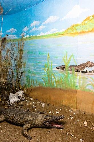 Lake Malawi Museum - Image: Crocodile exhibit Lake Malawi Museum