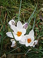 Crocus biflorus close-up 02.JPG