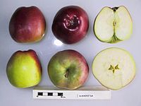 Cross section of Bukhovitsa, National Fruit Collection (acc. 1957-075).jpg