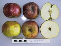 Cross section of Drap d'Or, National Fruit Collection (acc. 1947-123).jpg