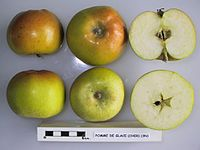 Cross section of Pomme de Glace (Cher), National Fruit Collection (acc. 1948-224).jpg