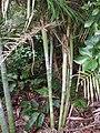 Cryphaea ovalifolia (C.Mull.) Jaeg. (AM AK299197-1).jpg
