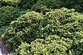 Cryptomeria japonica Elegans Nana 2zz.jpg