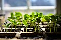 Cucumber Seedlings (32108679).jpeg