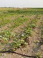 Cucurbita irrigation system in a farm (riego por goteo) - P6290131.jpg