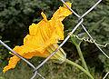 Cucurbita maxima flower W IMG 3542.jpg