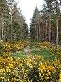 Culbin Forest Path - geograph.org.uk - 185132.jpg